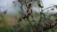 雨后水滴蜘蛛网精美图片