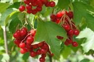 树上新鲜红色浆果图片