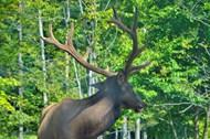 森林里的野生鹿图片大全