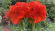 大红色天竺葵花朵图片素材