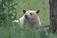 森林里的大白熊图片大全