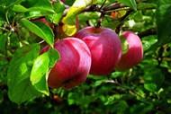 枝头红苹果成熟高清图片