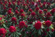 红色鸡冠花观赏图片下载