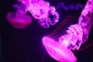 水族馆玫瑰色海蜇高清图片