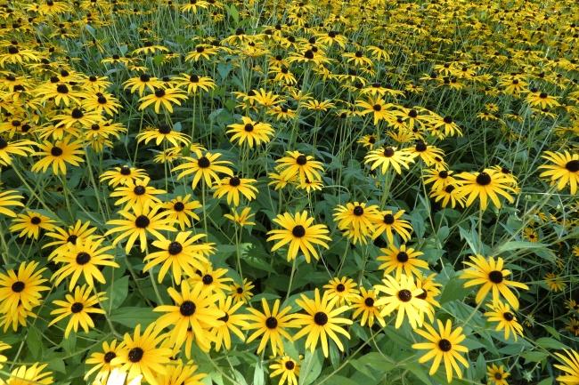 金光菊鲜花观赏图片