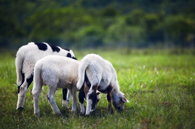 牧场小羊吃草图片素材