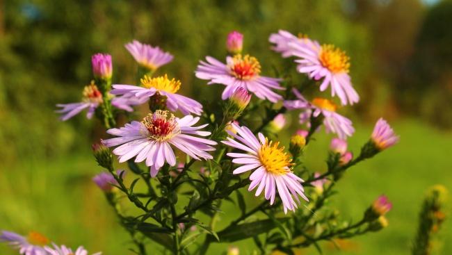粉色雏菊花朵图片