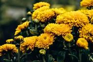 金黄色菊花花朵精美图片