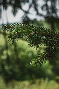 松树树枝图片