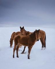 雪地上的棕色马图片素材