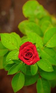 一朵鲜艳玫瑰花精美图片