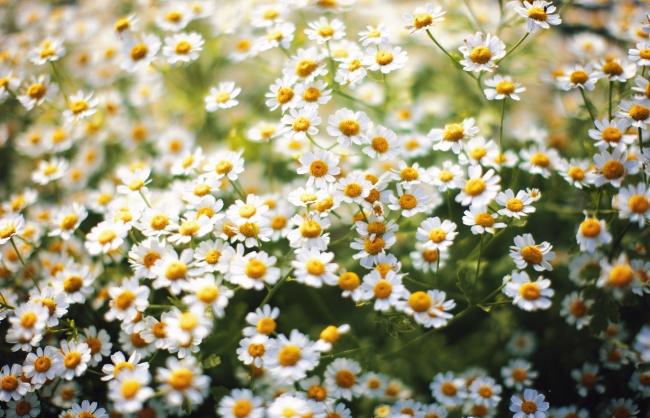 白色雏菊花花海图片下载