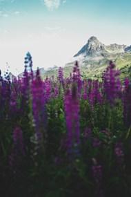 紫色花丛和远山图片