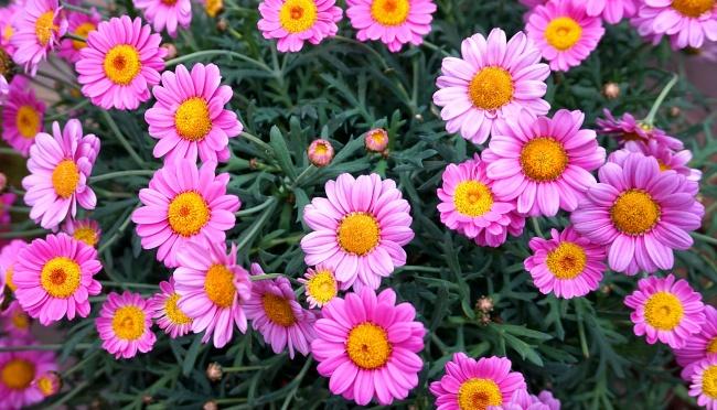 粉红色菊花盛开图片下载