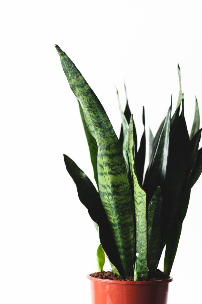 虎尾兰盆栽欣赏高清图