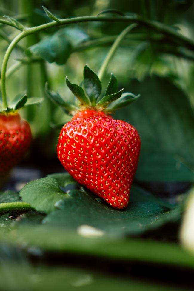 鲜艳成熟红草莓图片大全