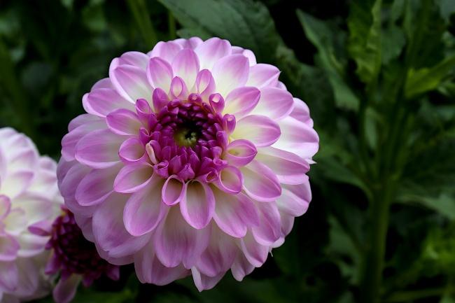 漂亮大丽花花朵精美图片
