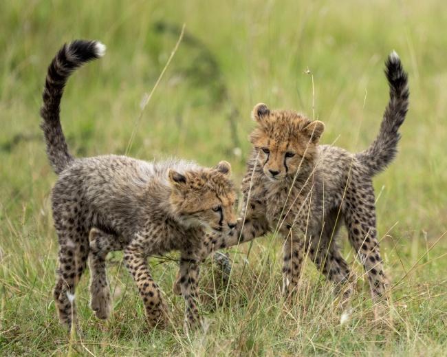 非洲小猎豹幼崽高清图片