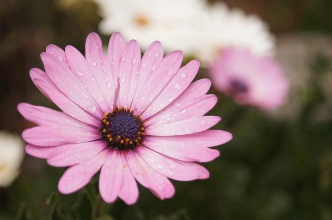 非洲菊花朵微距图片素材