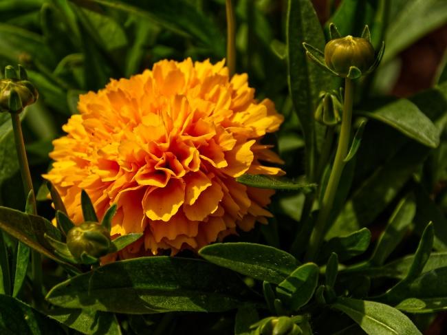 橙色万寿菊花朵开放图片