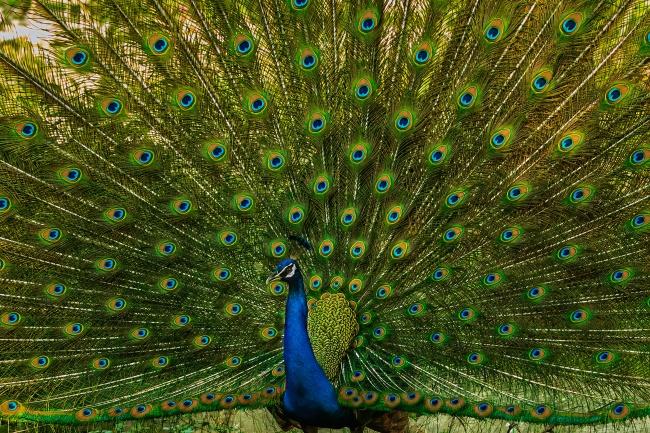 孔雀展翅开屏近景精美图片