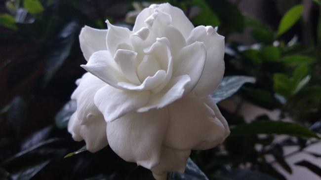 白色栀子花花朵图片