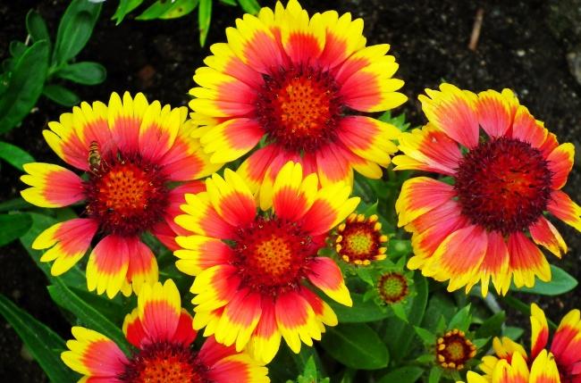 多色菊花花朵精美图片