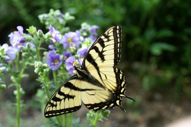 黄斑燕尾蝴蝶图片大全