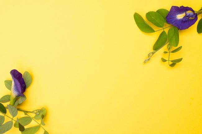 豌豆花黄色背景图片