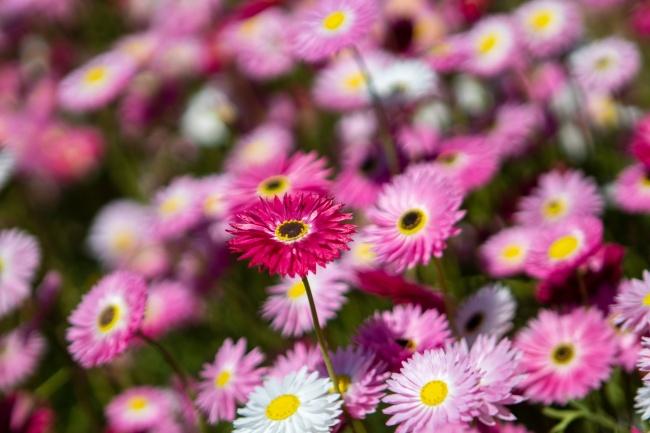 盛开菊花写真图片素材