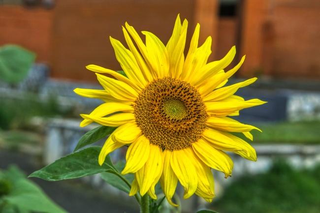黄色向日葵花朵开花精美图片