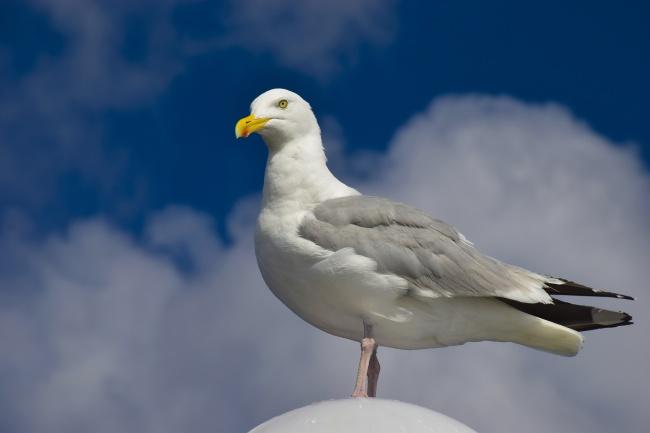 蓝天下一只海鸥精美图片