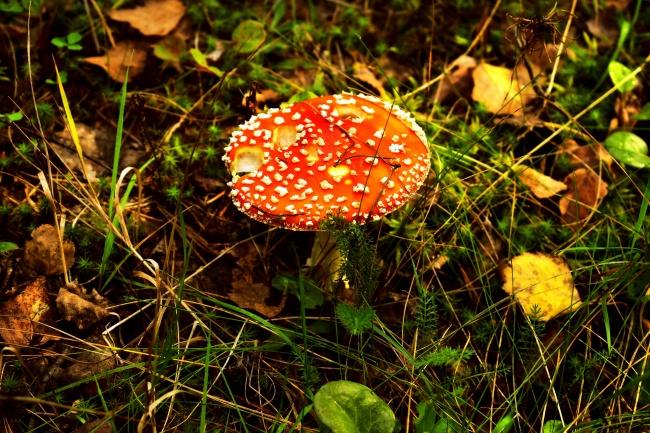 野生飞木耳红蘑菇高清图片