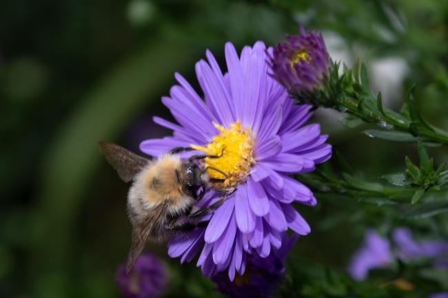 蜜蜂花上授粉图片