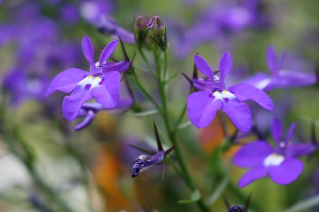 紫色半边莲花朵图片