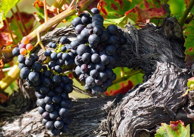 葡萄藤黑葡萄成熟高清图片