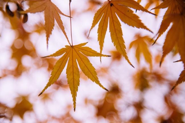 秋天黄枫叶背景高清图片