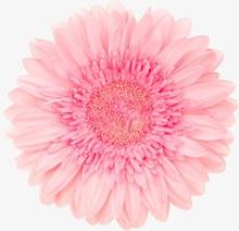 粉色单朵大花psd素材
