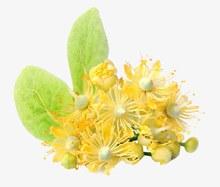 黄色的椴树花psd分层素材