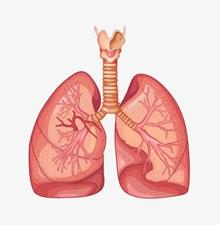 肺部器官图分层素材